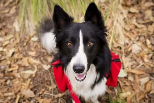 Raças de cães aptas para fazer trilhas