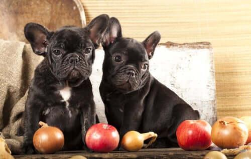 Cachorros com maçãs e cebolas