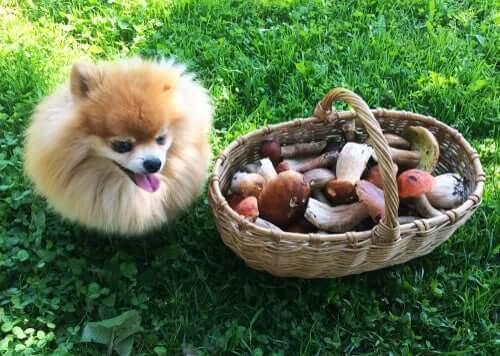 Intoxicação por cogumelos em cães