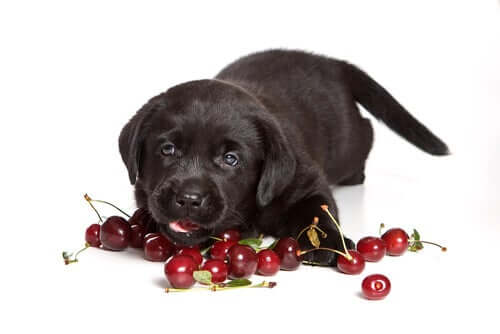 Cachorro comendo cereja