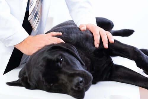 saber se um cachorro está sofrendo