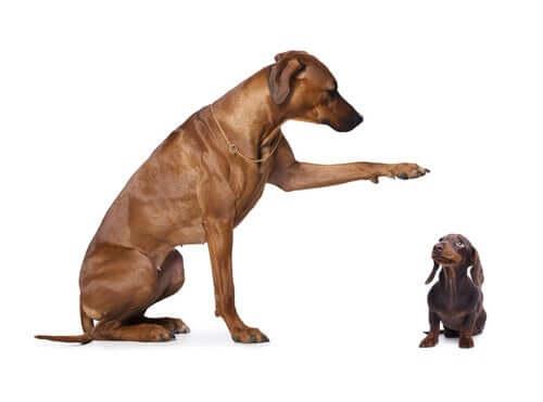 Cachorro de raça grande e de raça pequena