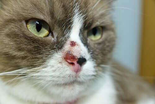 Câncer de pele em gatos: causas e tratamento