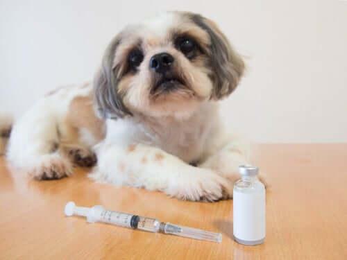 Cão diabético no veterinário