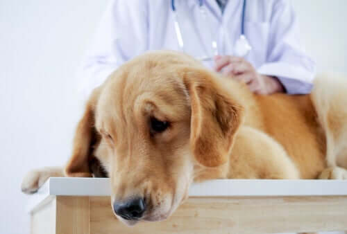 Cachorro sofrendo no veterinário