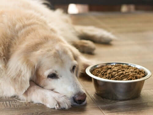 Cachorro idoso sem fome