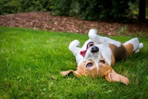 Por que os cães rolam na grama?