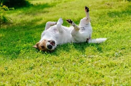 Cachorro rolando na grama