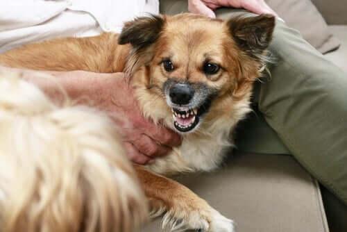 O que o rosnado do cachorro significa?