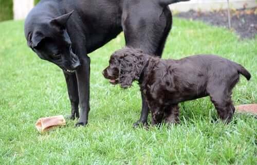 O rosnado do cachorro significa agressividade?