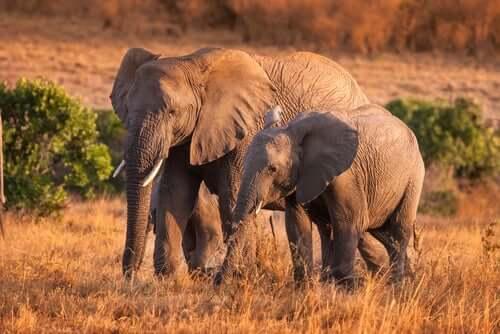 4 comportamentos curiosos dos elefantes em liberdade