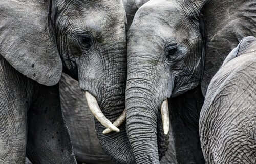 Elefantes de um grupo