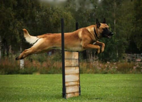 Importância do exercício para os cães