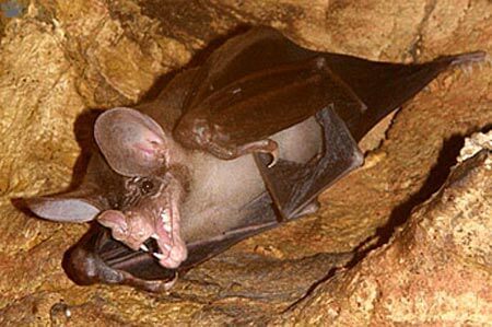 Conheça o morcego-fantasma-grande