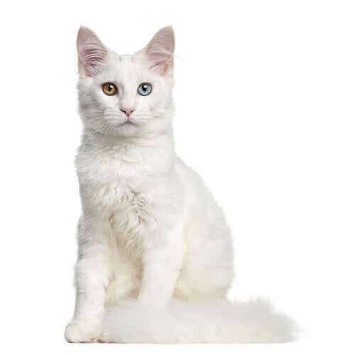 Gato branco com olhos coloridos