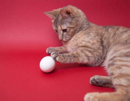 Gato brincando com ovo