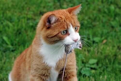 A alimentação do gato selvagem