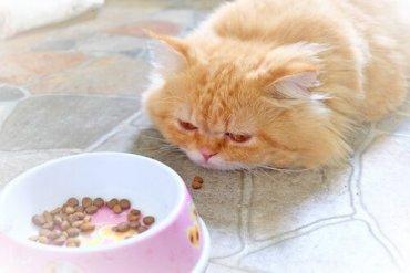 Como alimentar um gato doente?