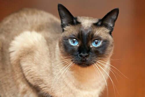 Gato com olhar penetrante