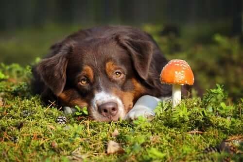 Intoxicação por cogumelos em cães: o que fazer?