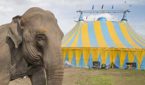 Elefantes usados em circos