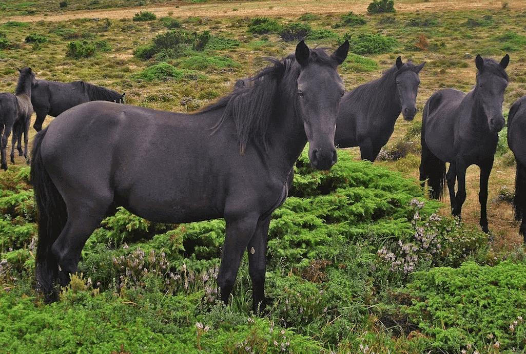 Cavalo losino