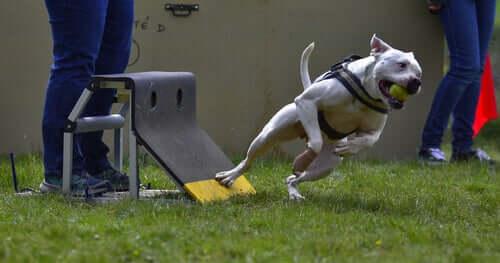 Flyball: 5 dicas para praticá-lo com o seu animal de estimação