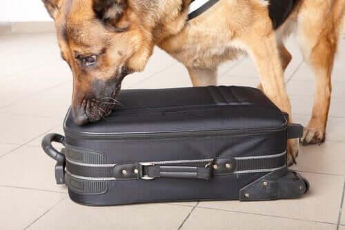 Cachorro procurando drogas