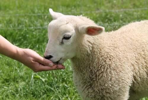 Ovelha doméstica: alimentação e temperamento