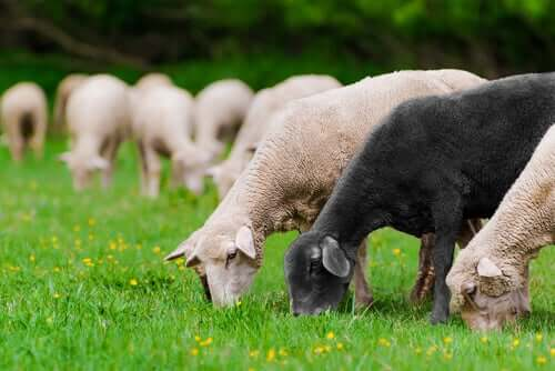 Ovelhas se alimentando