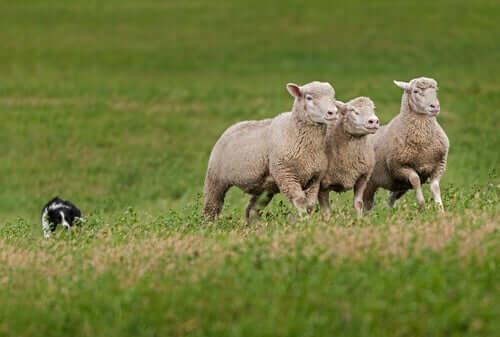 Ovelhas domésticas