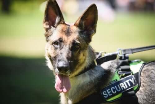 A vida dos cães policiais: treinamento e aposentadoria