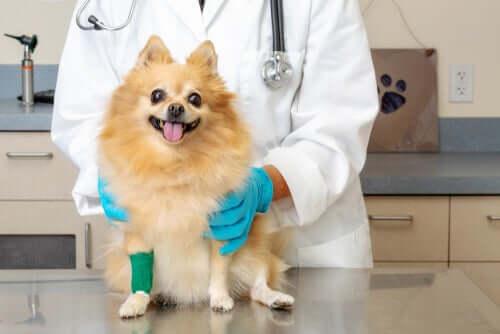 Cachorro com a pata imobilizada