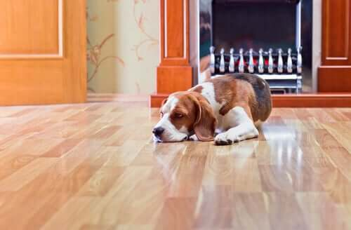 Os perigos do piso laminado para os cães