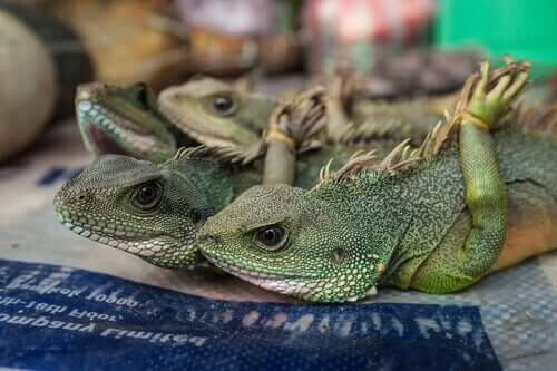 Iguanas amarradas