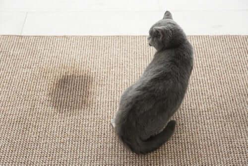 Como remover a urina do gato de casa?