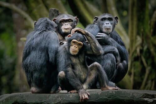 Chimpanzé-pigmeu: comportamento e alimentação