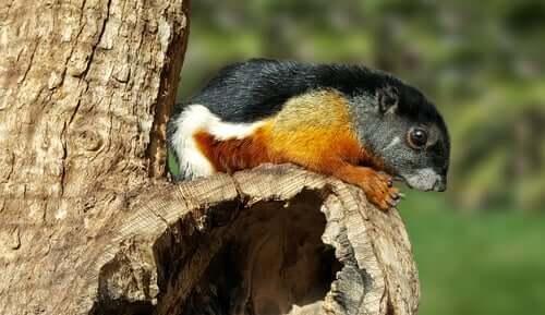 Esquilo-de-prevost: alimentação e habitat