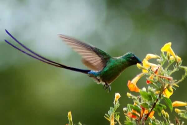 Beija-flores da Colômbia e da Venezuela