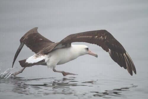 Habitat do albatroz-de-laysan