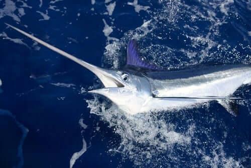 Principais características do peixe-espada