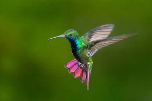 Beija-flores da Colômbia e da Venezuela: beleza com todas as cores