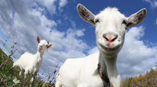 As cabras preferem pessoas felizes