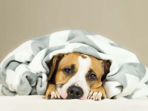 Qual a frequência da infecção por coronavírus canino?