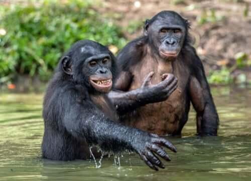 Habitat e alimentação do chimpanzé-pigmeu
