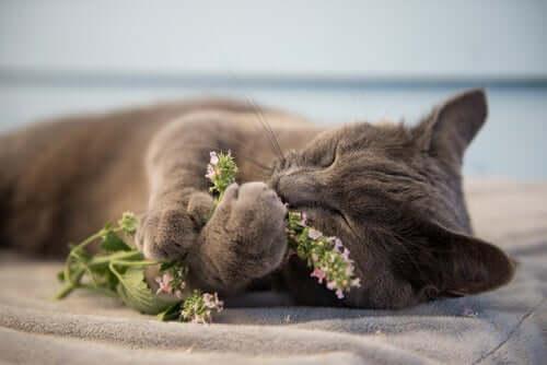 Você conhece a erva-dos-gatos?