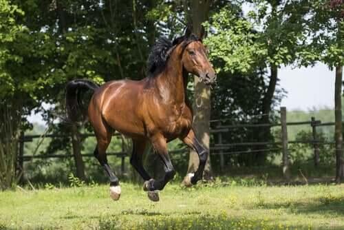 As origens do cavalo Maremmano