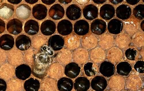 Como é o ciclo de vida das abelhas-europeias