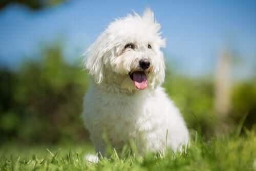 Você conhece a raça de cães Coton de Tulear?