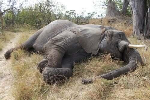 As doenças virais dos elefantes
